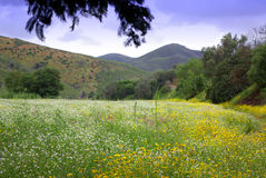Flowers Field. Landscape with colorful wild flowers field and mountains Royalty Free Stock Photography