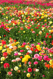 Flowers field Stock Photography