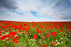 Flowers field royalty free stock image