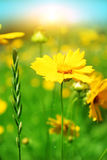 Flowers field Royalty Free Stock Photos
