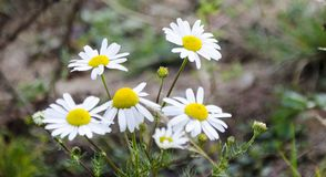 Daisies. Flowers in field. Autumn days royalty free stock photos