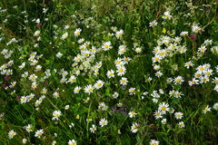 Flowers in a field. Beautiful field of white flowers Royalty Free Stock Photos