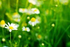 Flowers on field closeup Royalty Free Stock Photo