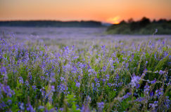 Flowers field at early morning Stock Photo