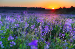 Flowers field at early morning Royalty Free Stock Photos
