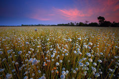 Flowers of field. Flower field of Thailand Royalty Free Stock Photos