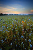 Flowers of field. Flower field of Thailand Royalty Free Stock Photo