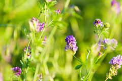 Flowers in field Royalty Free Stock Photo