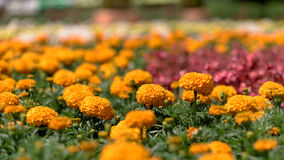 Flowers field - marigold Royalty Free Stock Photography