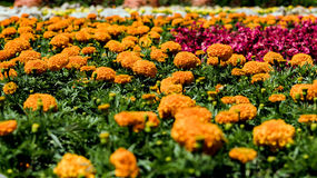 Flowers field - marigold Royalty Free Stock Image