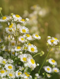 Flowers of a field medical camomile Stock Image