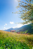 Flowers field near Swiss mountains Stock Image