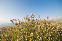 Flowers on the field. In northern Bulgaria Royalty Free Stock Photo
