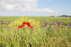 Flowers on the field. In northern Bulgaria Stock Images
