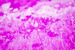 Pink flowers are blooming,it`s very beautiful. Flowers in the field,Pink flowers are blooming,it`s very beautiful Royalty Free Stock Photography