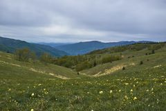 Flowers field on Stolovi mountain. Beautiful mountain Stolovi in central Serbia. A mountain full of wild horses and wild daffodils. Photograph taken this spring stock images