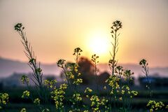 Flowers in field at sunset Royalty Free Stock Photos