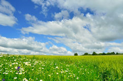 Flowers and field. Flowers, field and trees under beautiful sky Royalty Free Stock Image