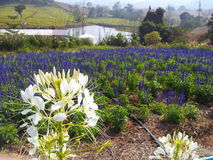 Flowers field. View of flowers field at Wang-nham-keaw in Thailand Royalty Free Stock Photos