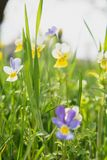 Flowers in the field. Wildlife on a sunny day. Flowers growing on green grass and give joy to all. Many beautiful plants royalty free stock image