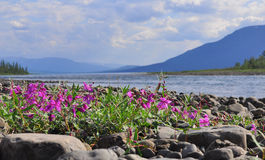 Flowers of fireweed on the cobblestones by river. Royalty Free Stock Image