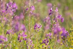 Flowers of Fireweed royalty free stock photos