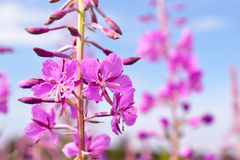 Flowers Fireweed Royalty Free Stock Photo