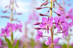 Flowers Fireweed Stock Photography