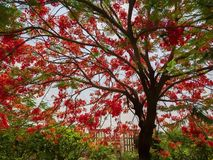 Flowers of a flame tree & x28;Delonix regia& x29; royalty free stock image