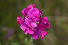 Flowers of a flat pea. Flowers of the flat pea (Lathyrus sylvestris Royalty Free Stock Photos
