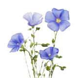 Flowers of flax Royalty Free Stock Image