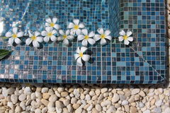 Flowers floating in swimming pool. Frangipani flowers floating in swimming pool Royalty Free Stock Photos