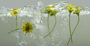 Flowers floating on water 2. Flowers versus with water wave stock photos