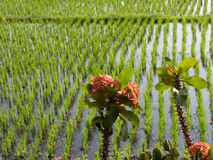 Flowers beside flooded rice fields, Bali, Indonesia Stock Images