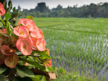 Flowers beside flooded rice fields, Bali, Indonesia Stock Image