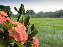 Flowers beside flooded rice fields, Bali, Indonesia Royalty Free Stock Photography