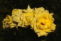 On a bush, yellow roses blossomed like a garland. Flowers, flora, nature, petals, inflorescences, green leaves, plants, botany, sunlight, garden, green leaves royalty free stock photography