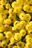 FLOWERS. Flower bed with beautiful yellow flowers royalty free stock photos