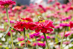 Flowers - flower on Bee Royalty Free Stock Image