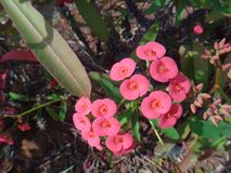 Flowers and flower buds of the christ plant royalty free stock images
