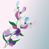 Flowers and flower buds of sweet peas, vector Royalty Free Stock Photos