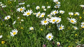 Flowers in the flower meadow. Are moving in the wind stock footage