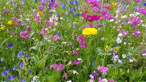 Flowers in the flower meadow. Are moving in the wind stock video footage