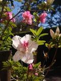 Flowers. Flower sun pink skyblue Stock Photos