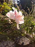 Flowers. Flower sun pink skyblue Stock Image