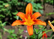 Flowers on the flowerbed. The tiger lily (Lilium lancifolium or. Lilium tirginum) and the day lily (Hemerocallis spp.) Never fail to brighten the summer garden stock photography
