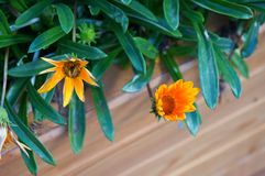 Flowers. Flowering pot plant Royalty Free Stock Images