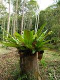 Edible fern Stock Photography