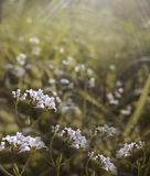 Flowers forest. Floral  beautiful background. White flowers bloom in a clearing in the sunshine at sunset on a summer day. Stock Photos