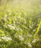 Flowers forest. Floral beautiful background. White flowers bloom in a clearing in the sunshine at sunset on a summer day. Stock Photo